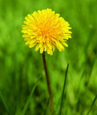 Dandelions:  Saving The World, One Lawn At A Time