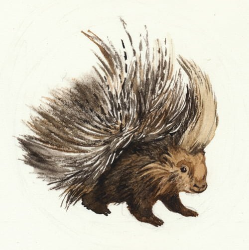 """Porcupine,"" by Fiona Bearclaw via Flickr"